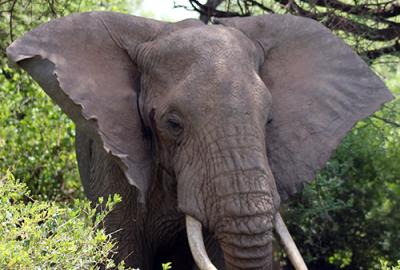 Elephant of Lake Manyara